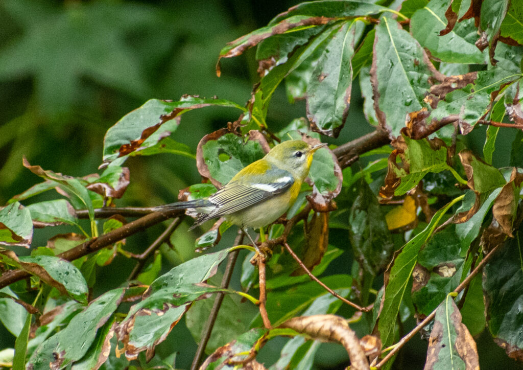 Bay-breasted warbler (first winter), Prospect Park