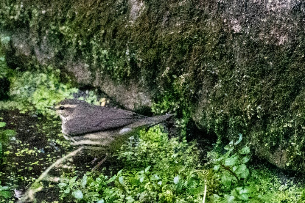 Waterthrush, Prospect Park