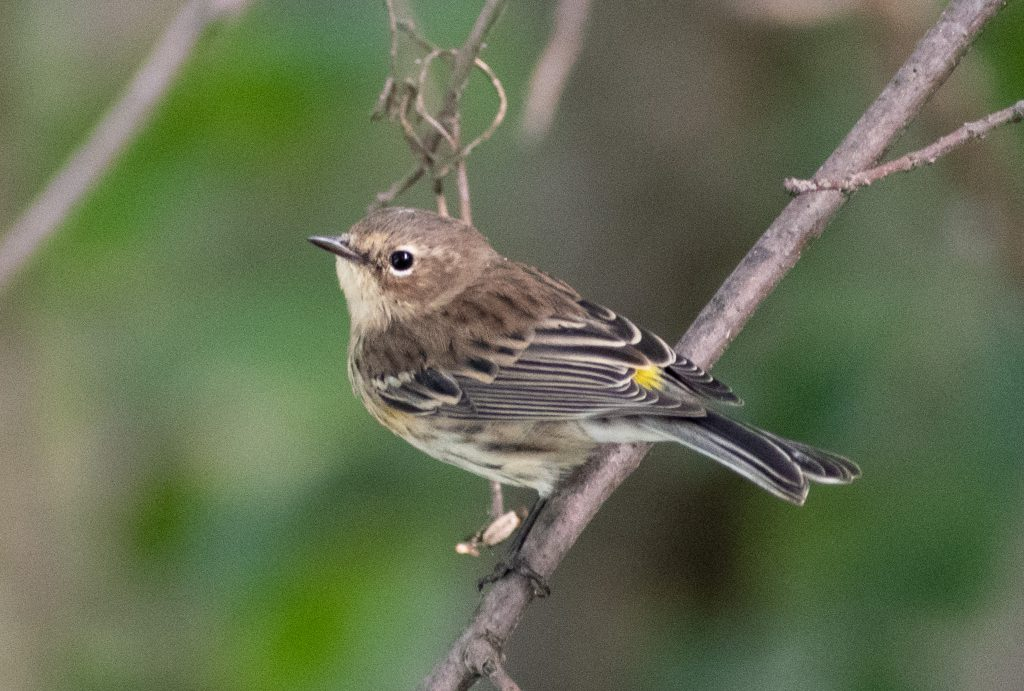 Yellow-rumped warbler (drab), Prospect Park