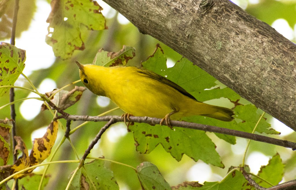 Yellow warbler, Prospect Park