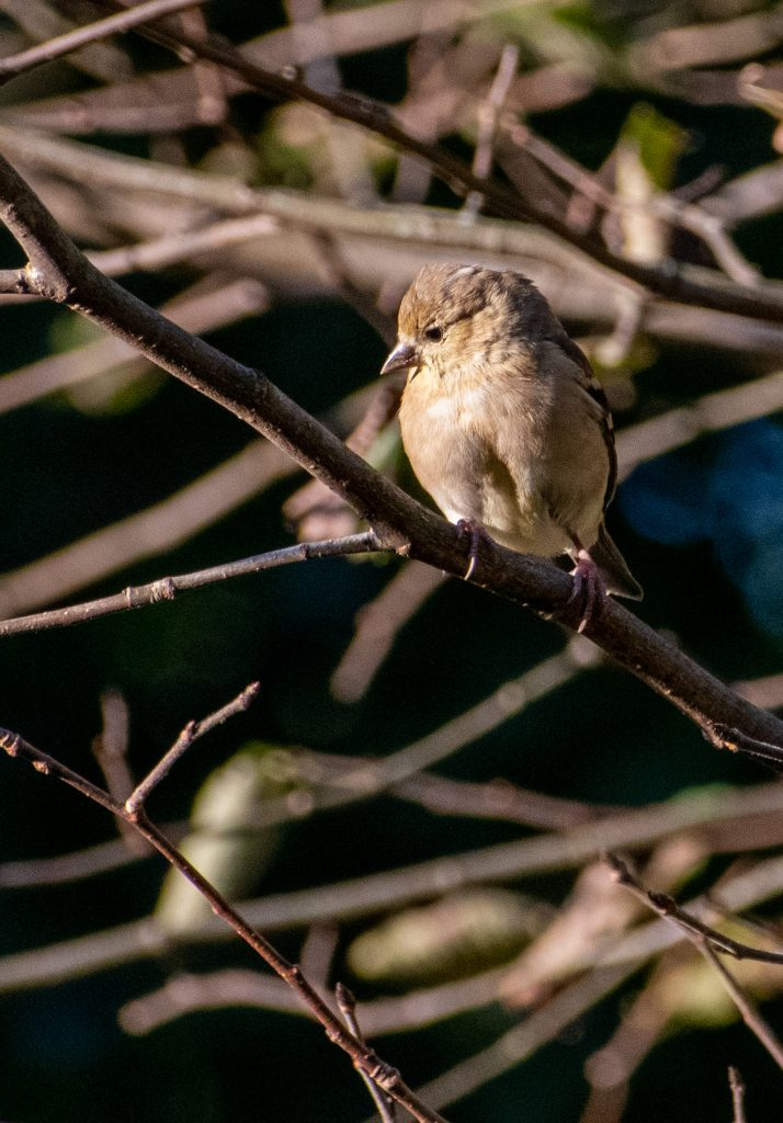 American goldfinch, Prospect Park