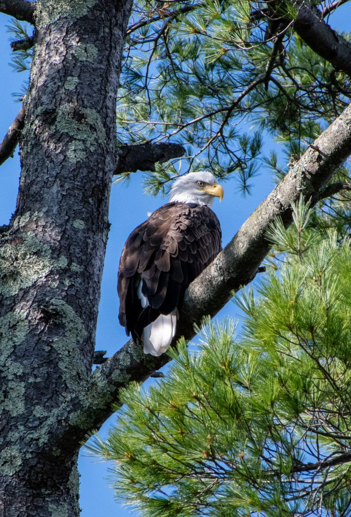Bald eagle (back), New Marlborough, Mass.