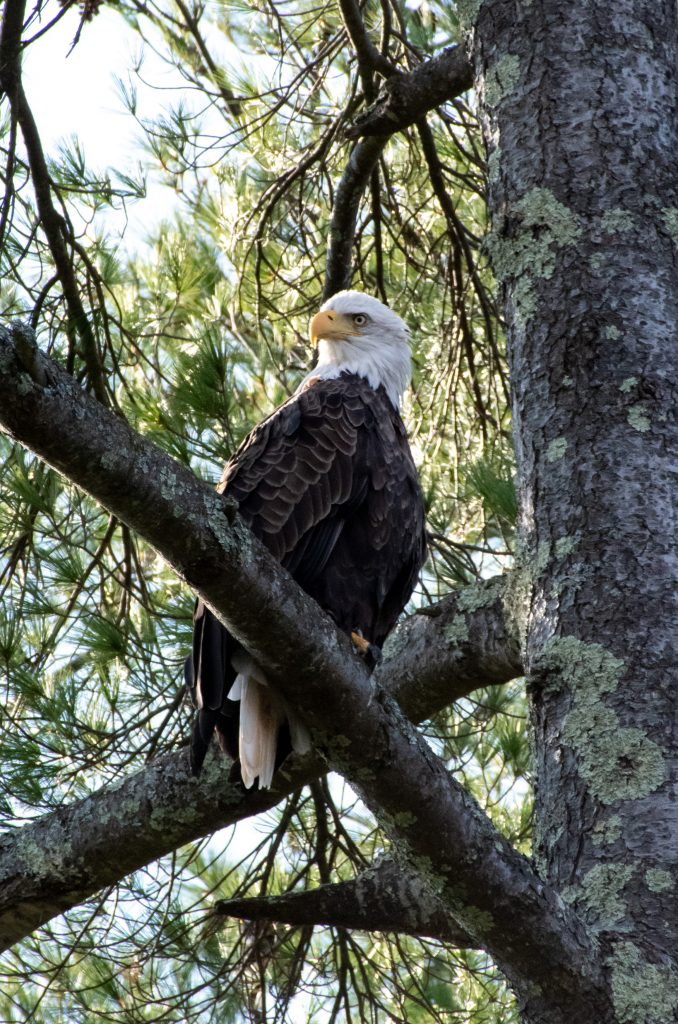Bald eagle (front), New Marlborough, Mass.