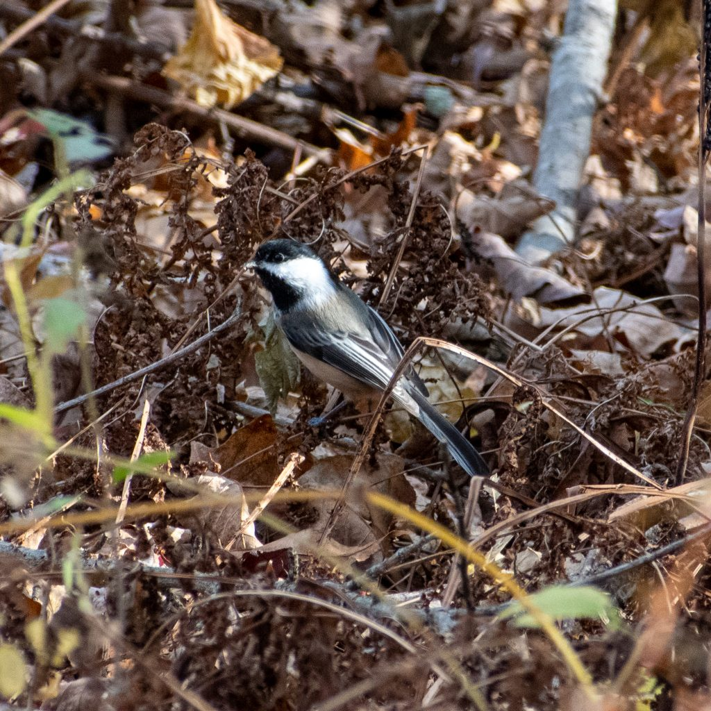 Black-capped chickadee, Steepletop, New Marlborough, Mass.