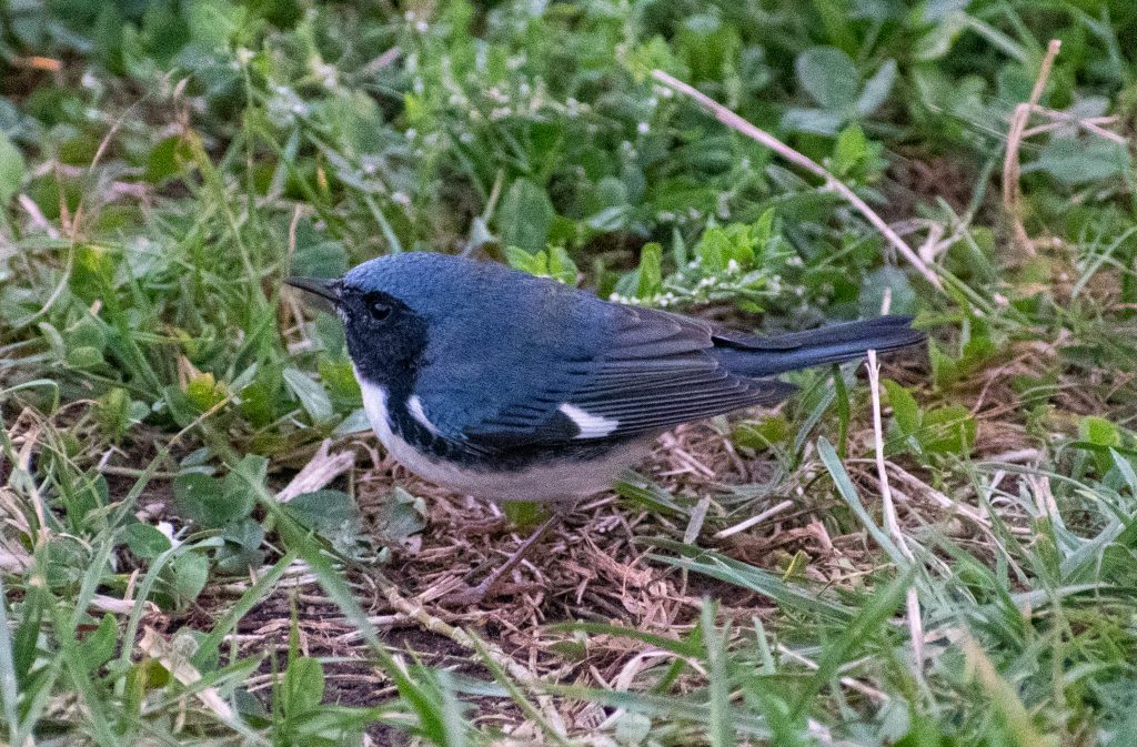 Black-throated blue warbler, Prospect Park
