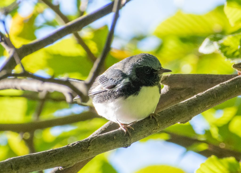 Black-throated blue warbler (male), Prospect Park