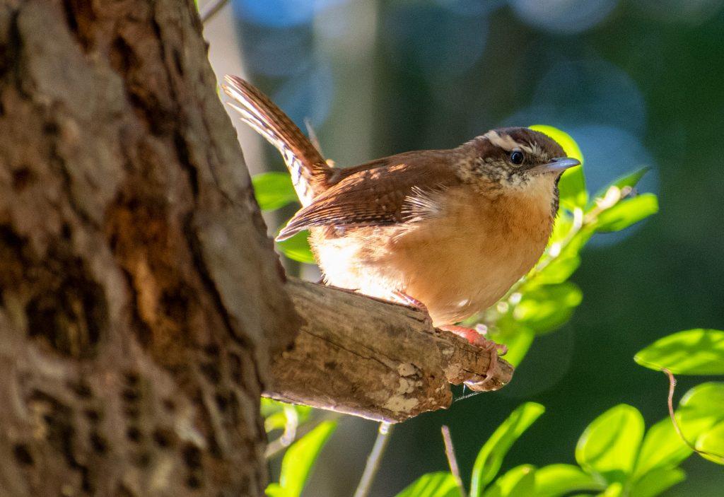 Carolina wren, Prospect Park