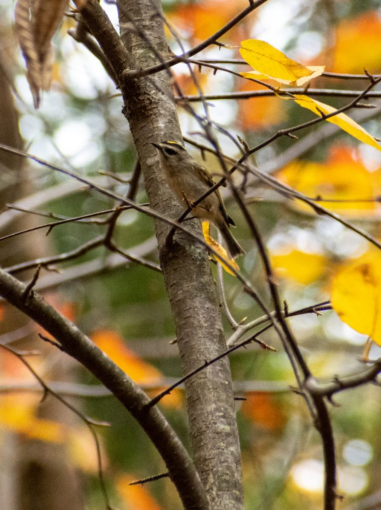 Golden-crowned kinglet, Questing, New Marlborough, Mass.