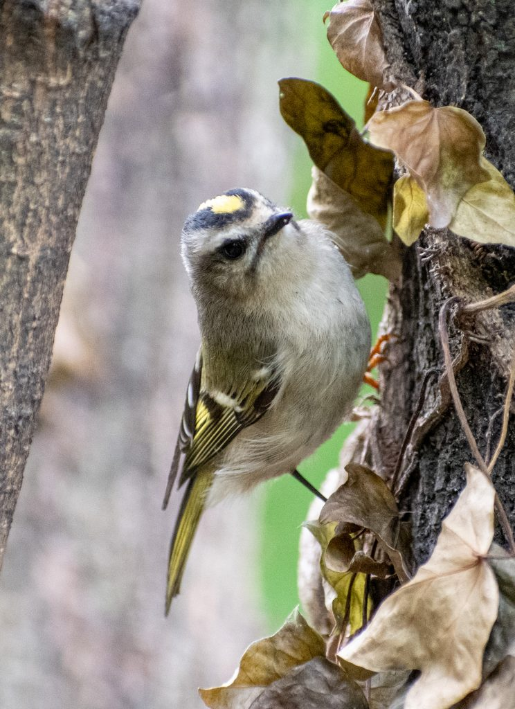 Golden-crowned kinglet, Prospect Park