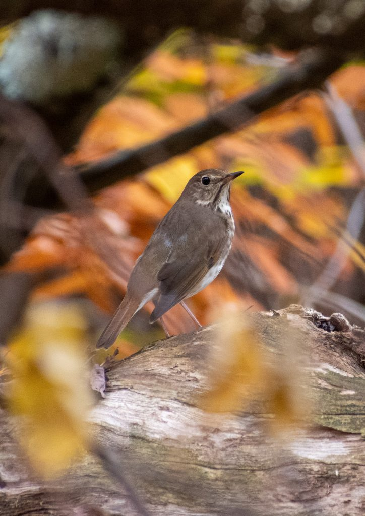 Hermit thrush, Steepletop, New Marlborough, Mass.