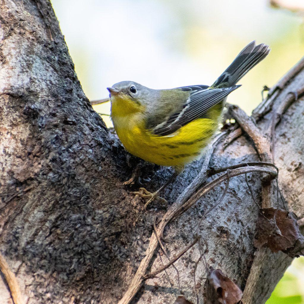 Magnolia warbler, Prospect Park