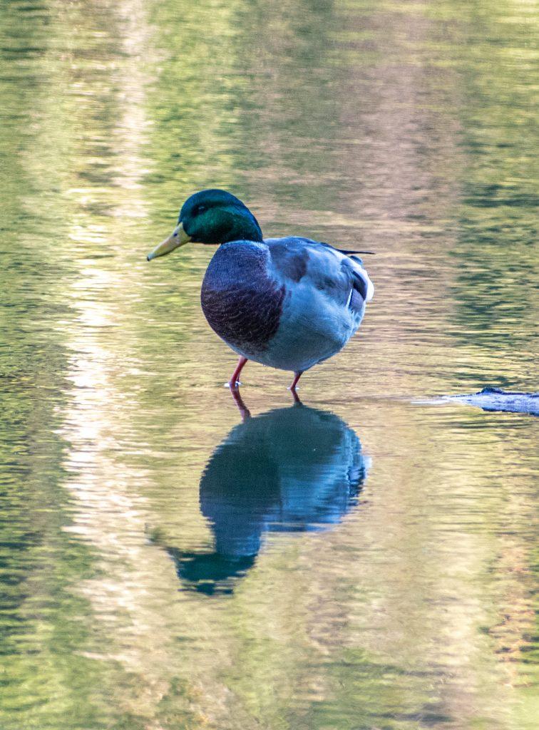Mallard, Prospect Park