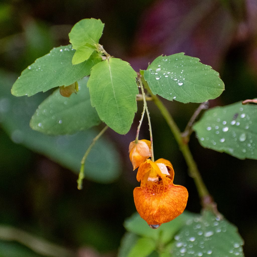 Orange jewelweed, Prospect Park