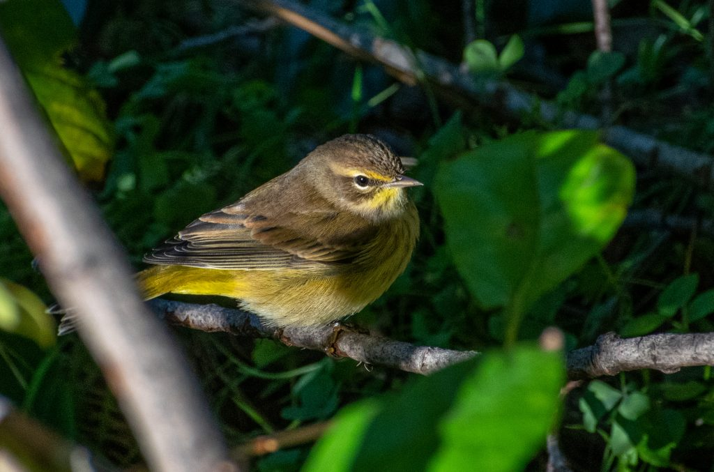 Palm warbler, Green-wood Cemetery