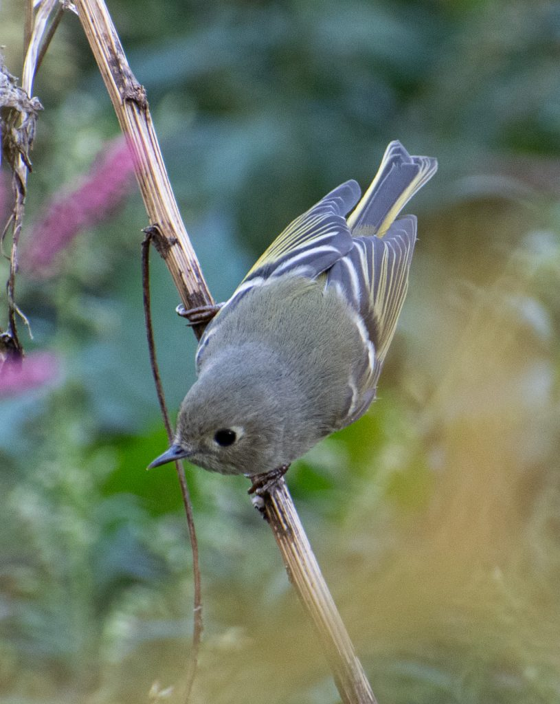 Ruby-crowned kinglet, Green-Wood Cemetery