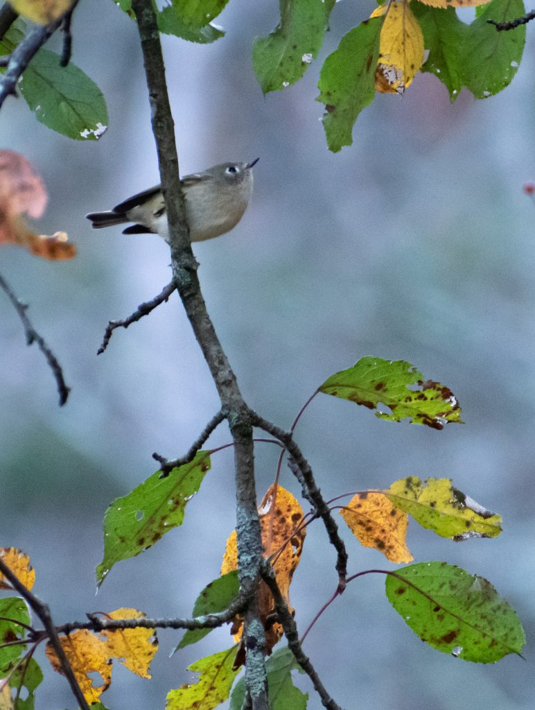 Ruby-crowned kinglet, New Marlborough, Mass.