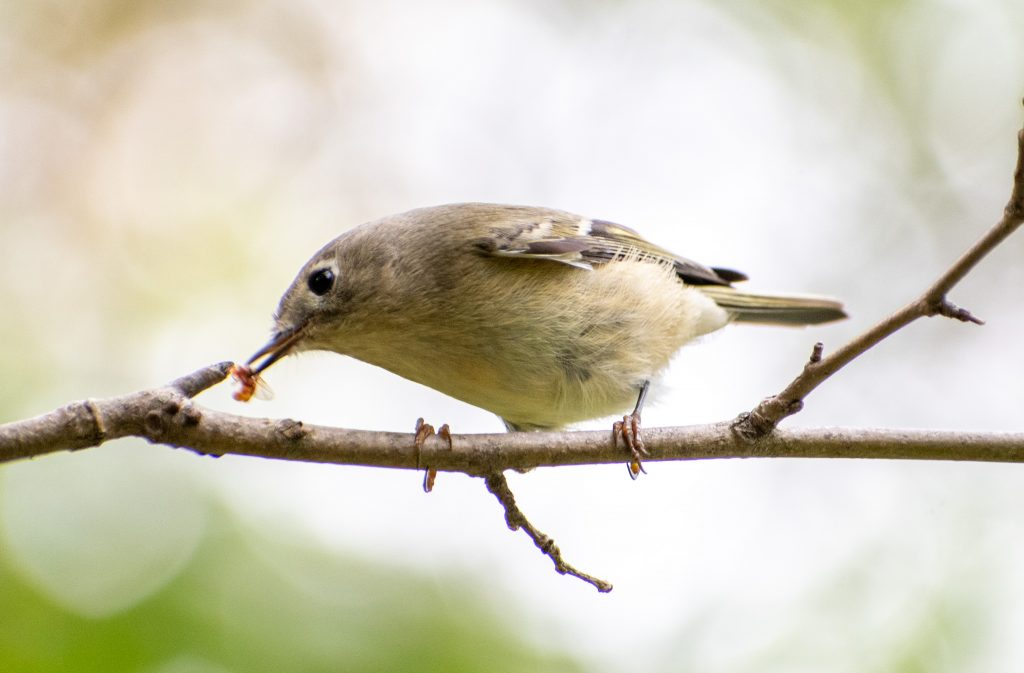 Ruby-crowned kinglet, Prospect Park