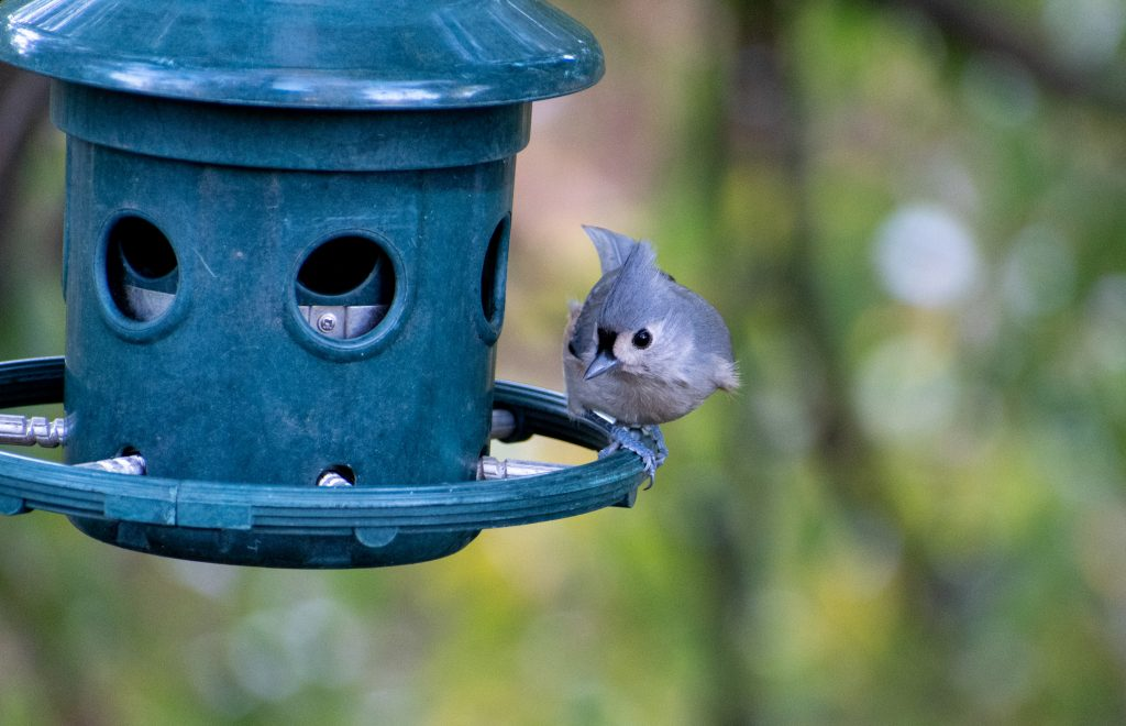 Tufted titmouse, Green-wood Cemetery