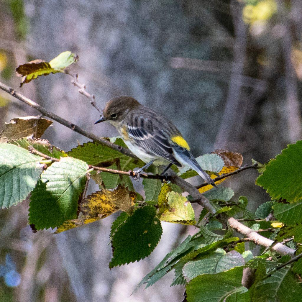 Yellow-rumped warbler, Prospect Park