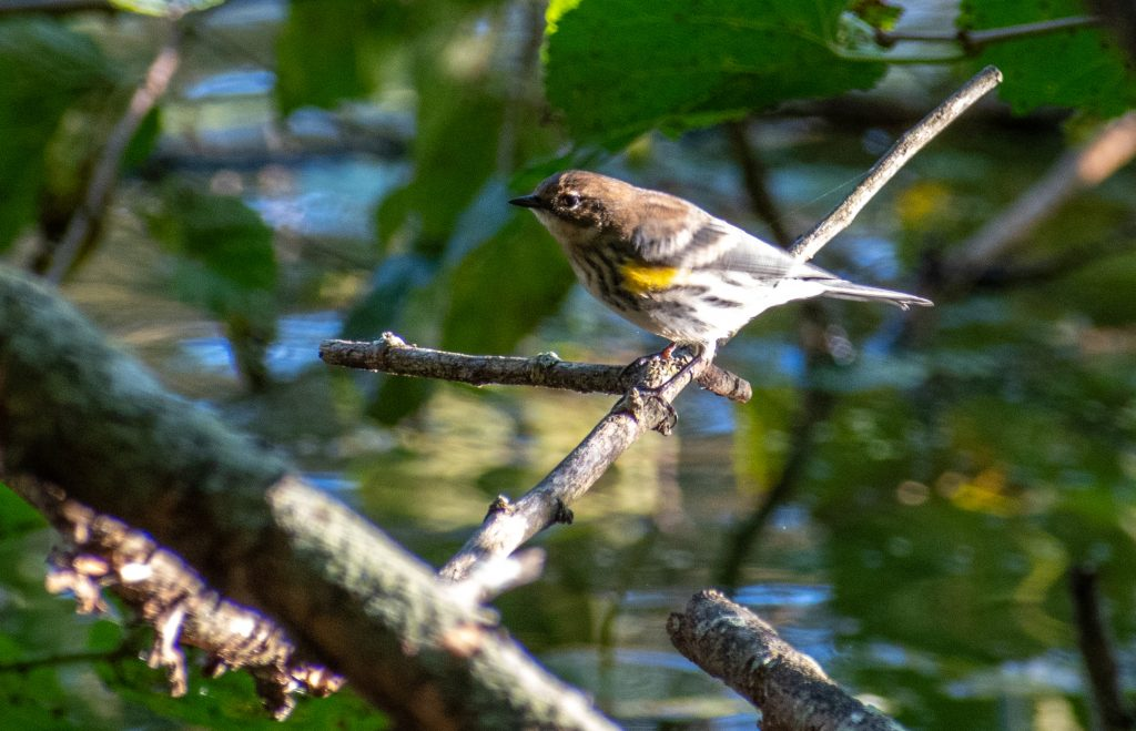 Yellow-rumped warbler (myrtle), Prospect Park