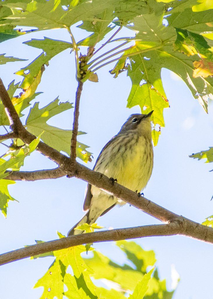 Yellow-rumped warbler (myrtle), Prospect Park