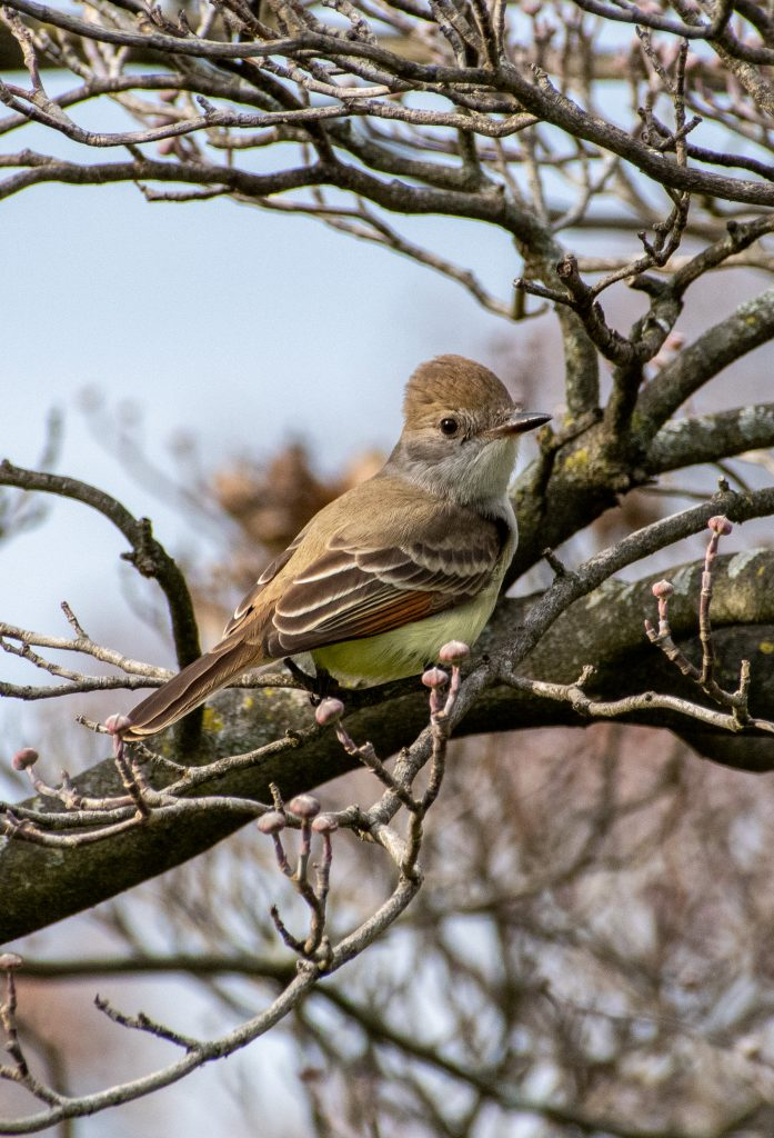 Ash-throated flycatcher, Greenwood Cemetery