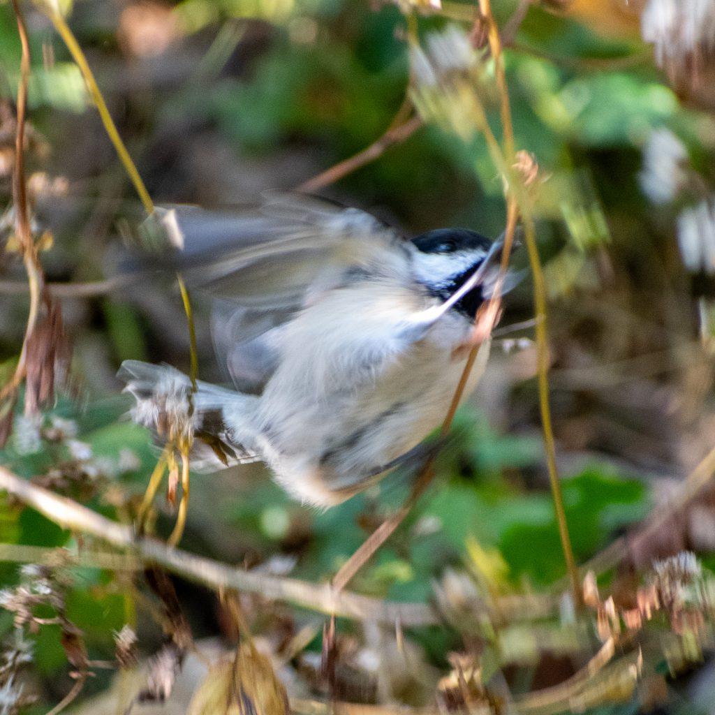 Black-capped chickadee, Prospect Park