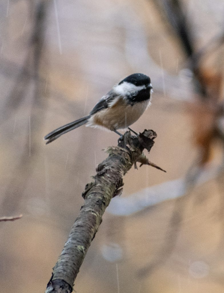Black-capped chickadee, Lullwater, Prospect Park