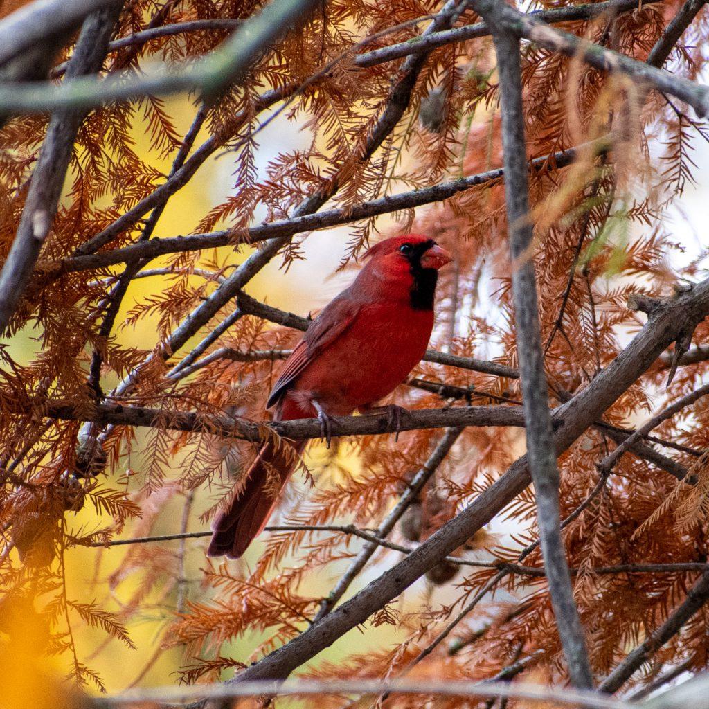 Cardinal, in baldcypress, Prospect Park