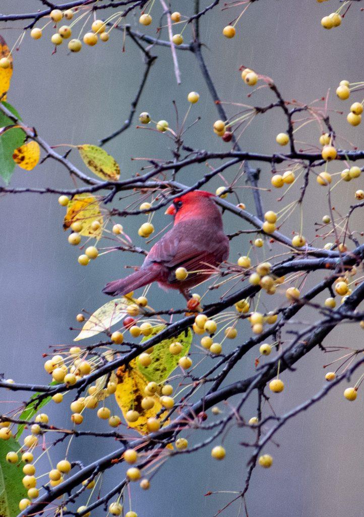Cardinal (male), Prospect Park