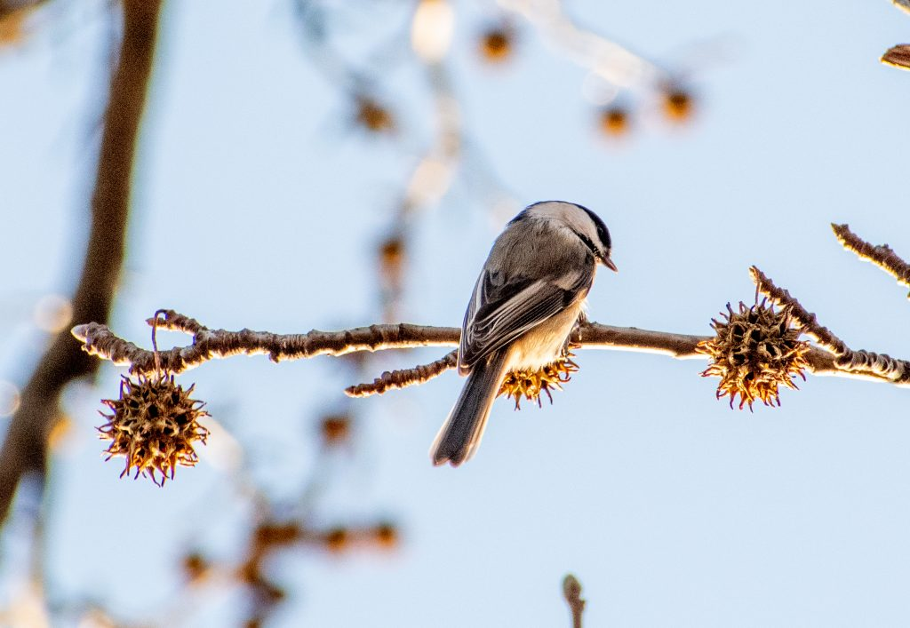 Black-capped chickadee in sweetgum, Prospect Park