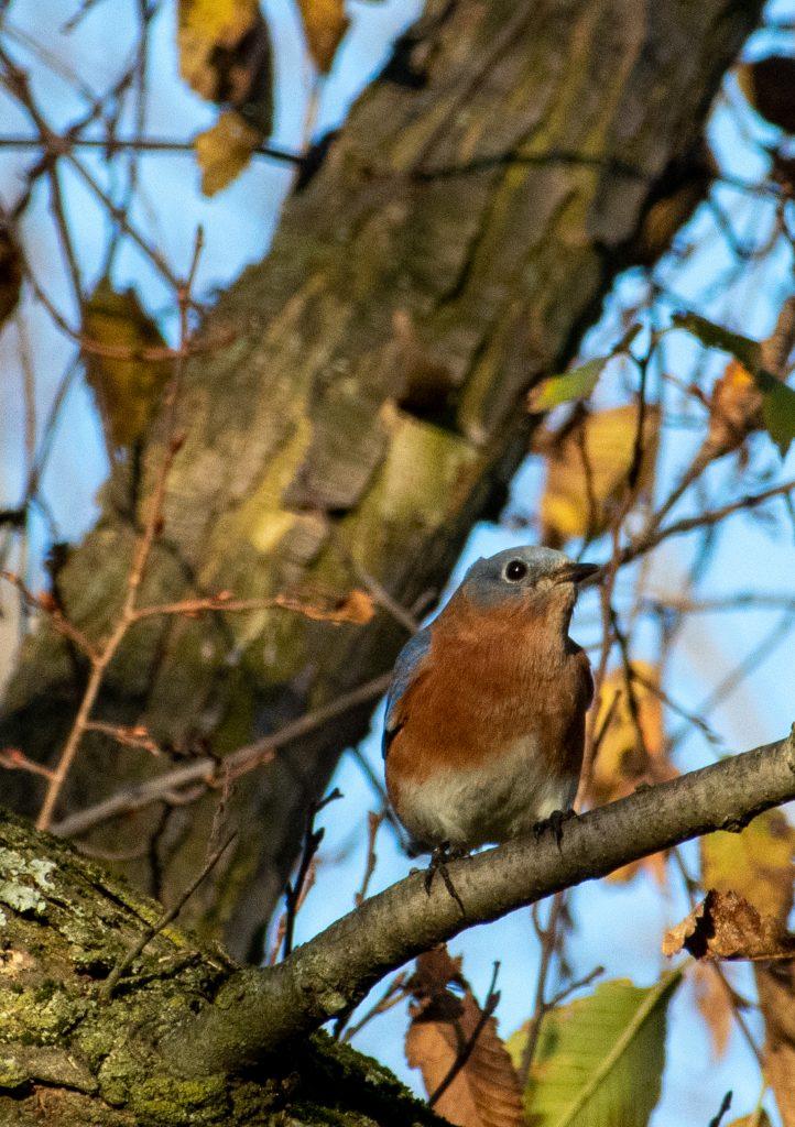 Eastern bluebird, Prospect Park
