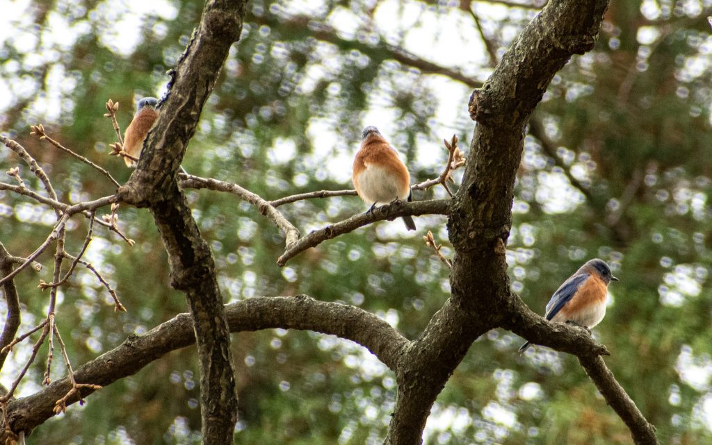 Eastern bluebirds, Greenwood Cemetery