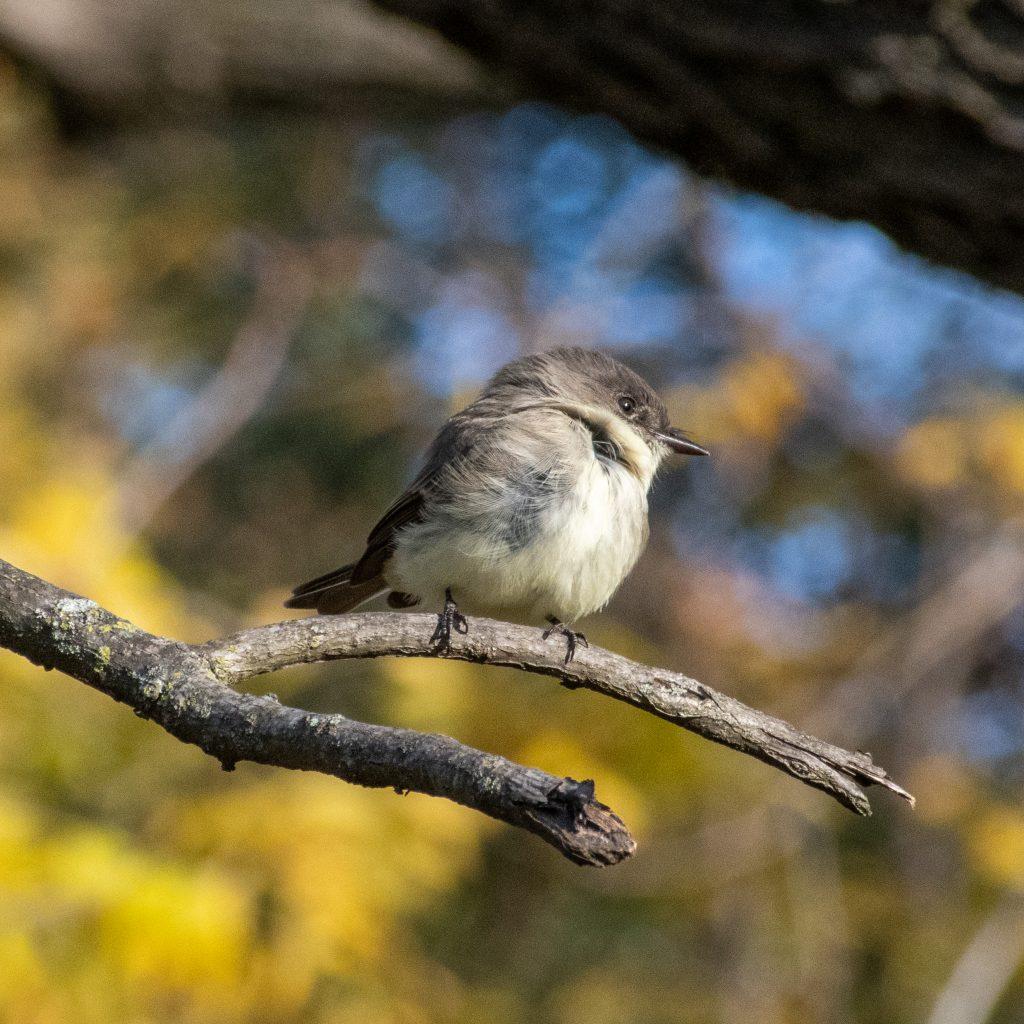 Eastern phoebe, Prospect Park