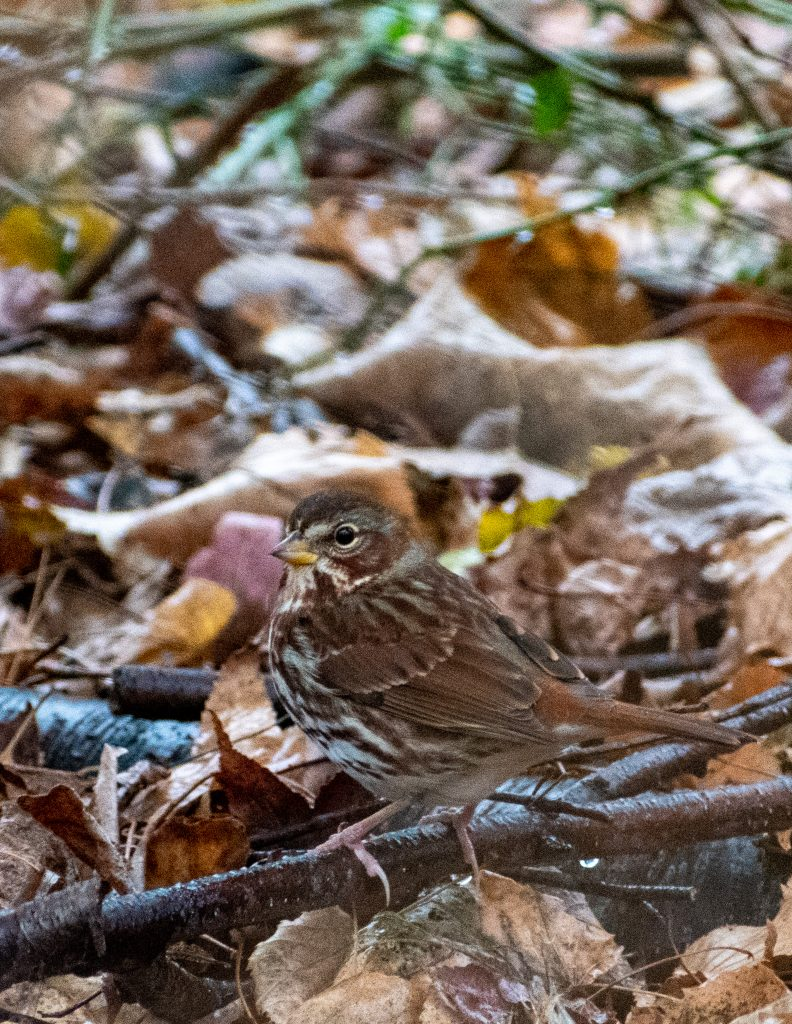 Fox sparrow (red),Lullwater, Prospect Park