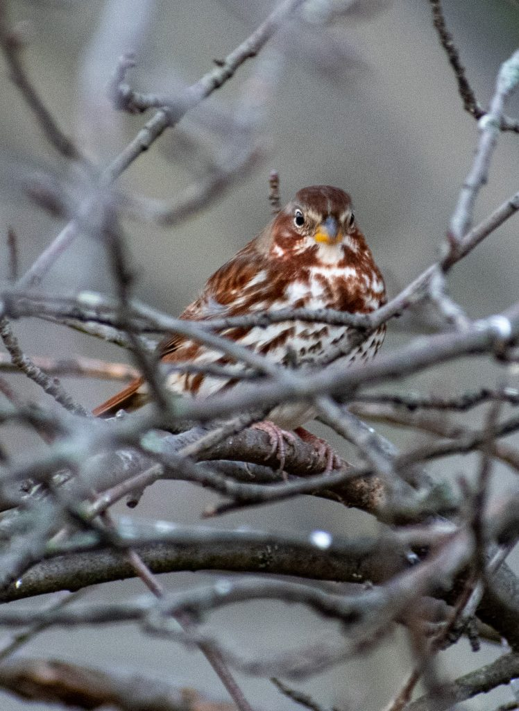Fox sparrow (red taiga), Greenwood Cemetery