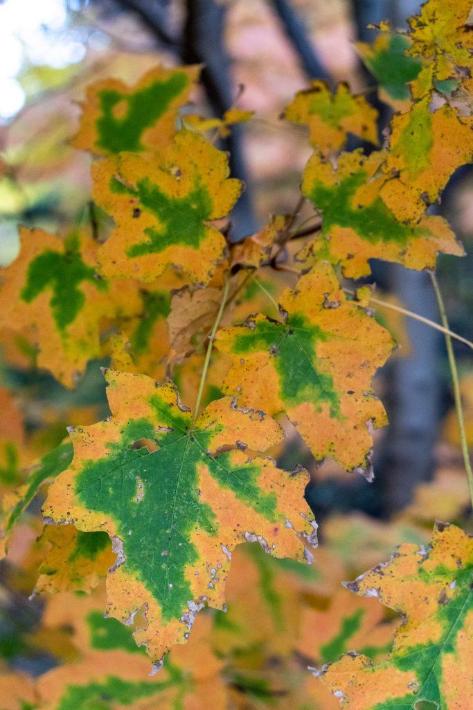 Maple leaves, Prospect Park