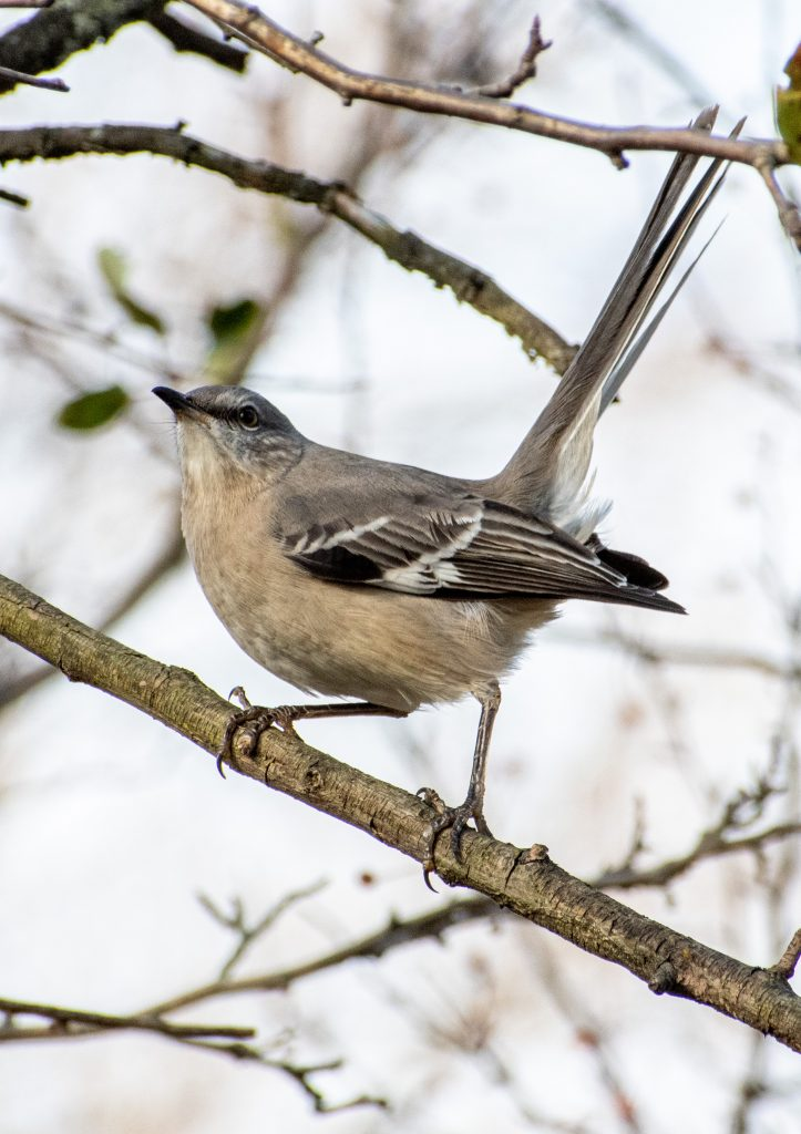 Northern mockingbird, Greenwood Cemetery