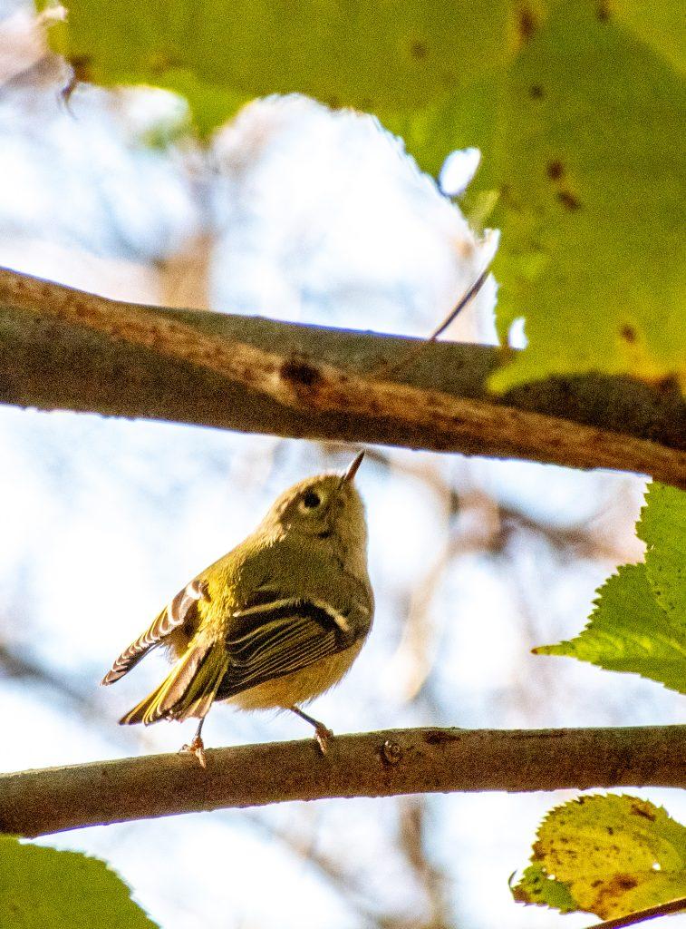 Ruby-crowned kinglet, Prospect Park