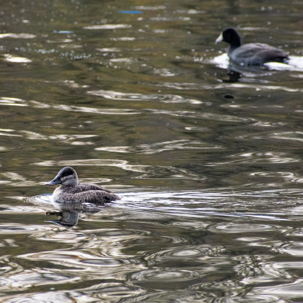 Ruddy duck (female) and American coot, Prospect Park