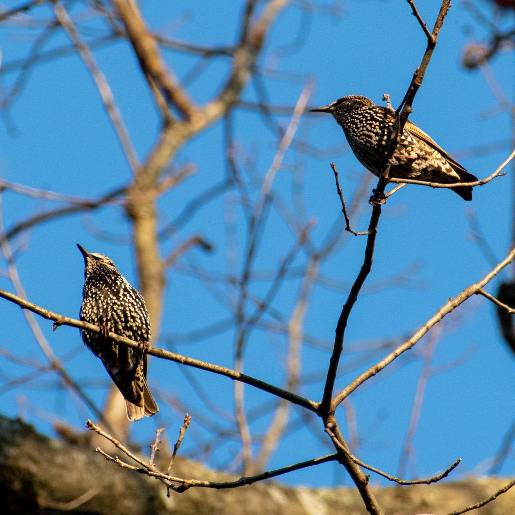 Starlings, Prospect Park
