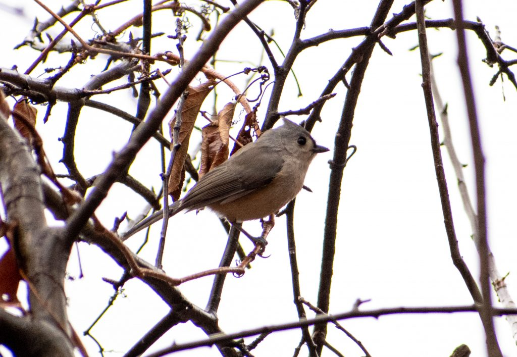 Tufted titmouse, Lullwater, Prospect Park