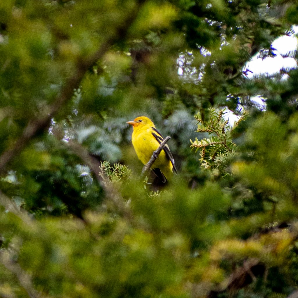 Western tanager, Greenwood Cemetery