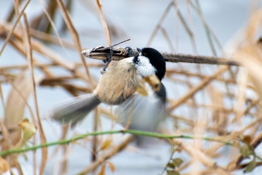 Black-capped chickadee, Prospect Park