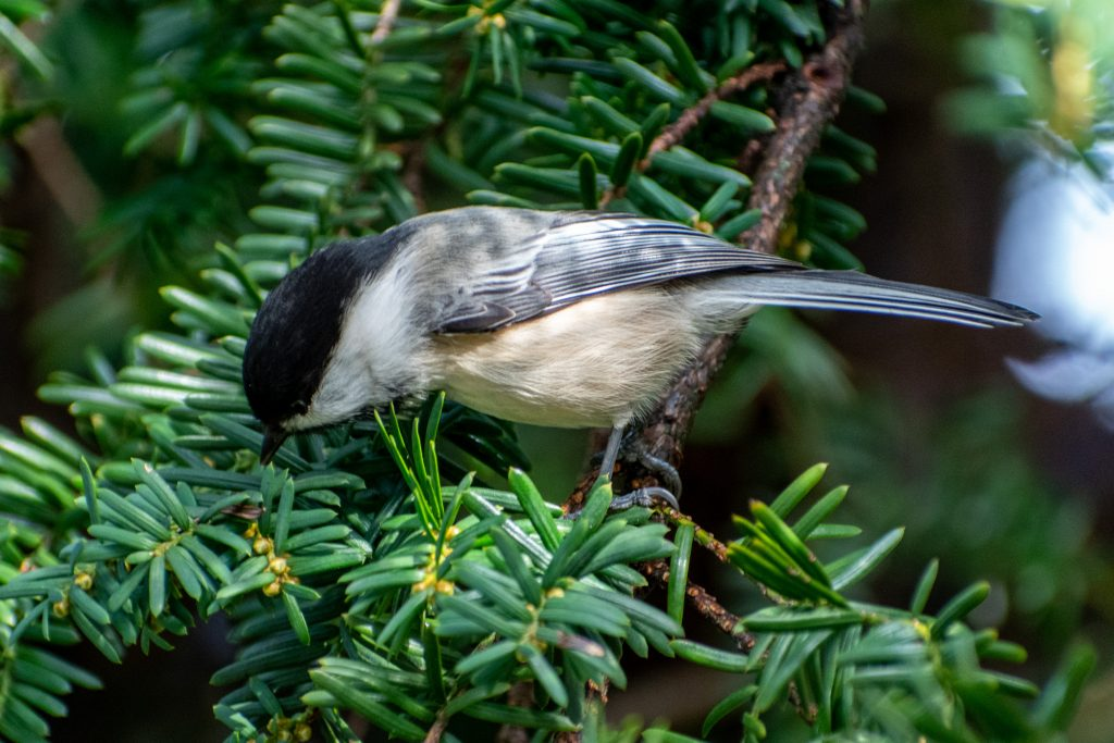 Black-capped chickadee, Green-wood Cemetery