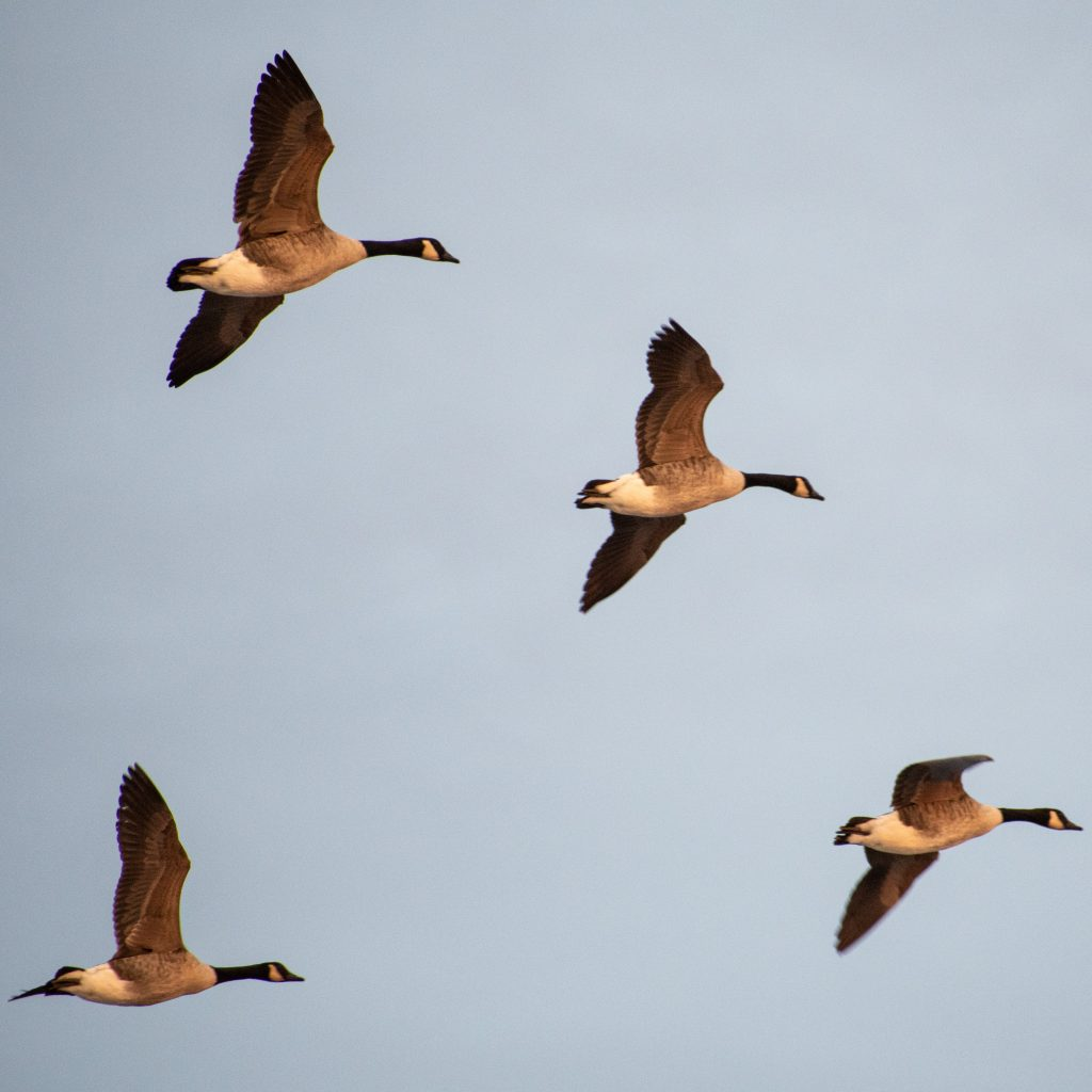 Canada geese, Jones Beach
