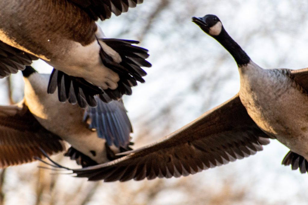 Canada geese, Greenwood Cemetery