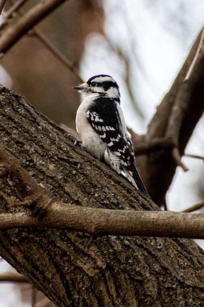 Downy woodpecker (female), Prospect Park
