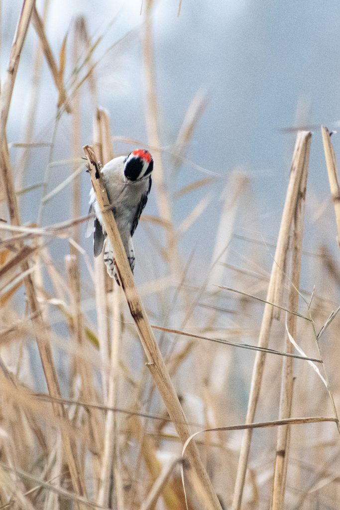 Downy wodpecker, Prospect Park