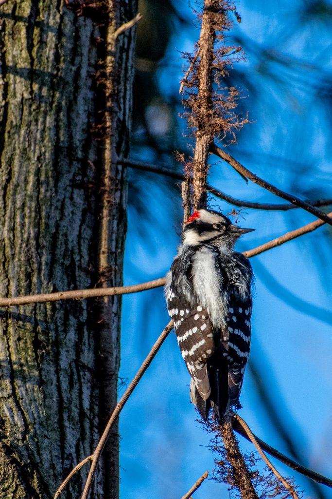 Downy woodpecker, Prospect Park
